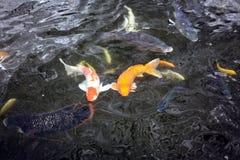 Пары koi удят заплывание в пруде Стоковые Фото