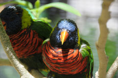 Пары moluccanus Trichoglossus Lorikeet радуги птиц закрывают вверх Стоковые Изображения