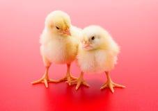 Пары newborn желтых цыплят на красной предпосылке Стоковая Фотография
