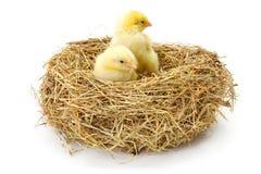 Пары newborn цыплят в гнезде сена Стоковое фото RF