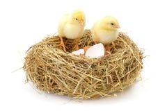 Пары newborn цыплят в сене гнездятся с раковинами яичка Стоковые Изображения RF