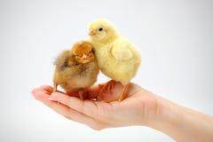 Пары newborn цыплят стоя в человеческой руке Стоковое Фото