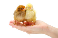 Пары newborn цыплят стоя в человеческой руке Стоковые Изображения RF