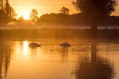Пары olor Cygnus безгласных лебедей спать на золотом пруде Стоковое Фото