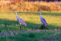 Пары Sandhills в поле Стоковая Фотография