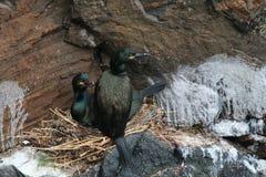 Пары Shag (Phalacrocorax aristotelis) на их гнезде Стоковая Фотография