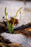 Пары snowdrops в лесе Стоковая Фотография