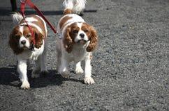 Пары Spaniels в Burnley Lancashire Стоковые Фотографии RF