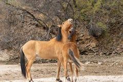 Пары Sparring диких лошадей Стоковое фото RF