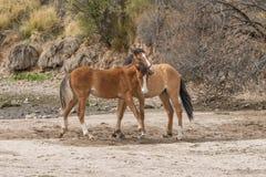 Пары Sparring диких лошадей Стоковая Фотография
