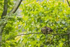 Пары Turtledoves Стоковые Изображения