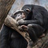 Пары v шимпанзе стоковое фото