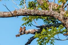 Пары Waxwings кедра отдыхая сторона - мимо - встают на сторону на ветви дерева Стоковые Фото