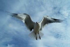 Парящая чайка Стоковая Фотография