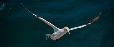 Парящее gannet, Muriwai, Новая Зеландия Стоковая Фотография RF