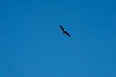 Парящий орел Стоковое Изображение