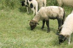 пасите овец стоковое фото rf
