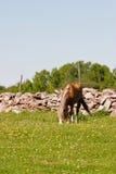 пасите лошадь стоковые изображения rf