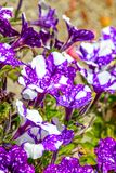 Паслёновые пурпура и белых цветя петуньи Стоковые Изображения RF