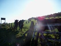 пасмурное поле коров сценарное Стоковое Изображение RF