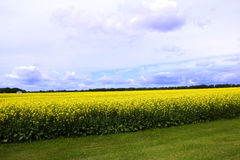 Пасмурные голубые небеса над полем Манитобы канола Стоковые Фото