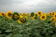 пасмурный солнцецвет поля дня Стоковые Фото