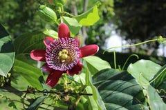 Пассифлора, известная также как цветки страсти или лозы страсти стоковые фотографии rf