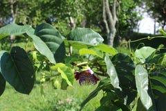 Пассифлора, известная также как цветки страсти или лозы страсти стоковые изображения rf