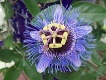 Пассифлора Passionflower зацветая с одиночным крупным планом цветка стоковое изображение