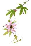 Пассифлора l цветка страсти На белой предпосылке Стоковая Фотография