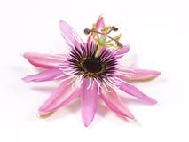 Пассифлора l цветка страсти На белой предпосылке Стоковые Фото