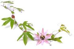 Пассифлора l цветка страсти На белой предпосылке Стоковое Фото