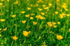 Пастбище с желтыми цветками Стоковая Фотография RF