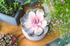 Пастельный кактус в взгляд сверху бака на предпосылках деревянного стола Концепция цветка весны Стоковое Изображение