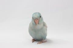 Пастельная голубая птица Forpus Стоковое Фото