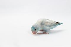 Пастельная голубая птица Forpus Стоковые Фотографии RF
