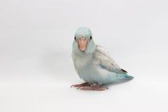 Пастельная голубая птица Forpus Стоковое фото RF