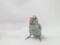 Пастельная голубая птица Forpus Стоковое Изображение