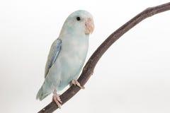 Пастельная голубая птица Forpus Стоковые Изображения RF