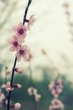 Пастельное цветение весны тонов Стоковое Фото