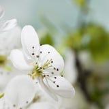 Пастельный белый макрос цветения весны тонов стоковые изображения