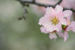 Пастельный макрос цветения весны тонов Стоковое Изображение RF