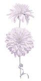 2 пастельных тонизированных изолированные цветка и тонкой лента Rudbeckia Стоковая Фотография