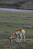 Пасти антилопу Стоковое Изображение