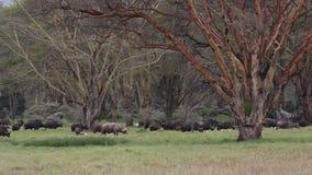 Пасти африканских буйволов сток-видео
