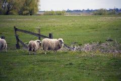 Пасти белых овец с слепыми пятнами на глазах Стоковое Фото