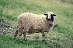 Пасти белых овец Стоковое Фото