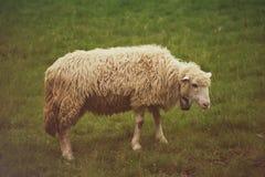 Пасти белых овец Стоковое Изображение