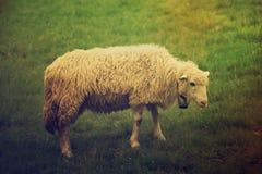 Пасти белых овец Стоковая Фотография