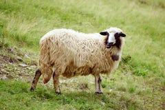 Пасти белых овец Стоковые Изображения